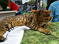 Sleeping bengal cat (8109880525).jpg