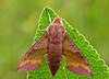 Small Elephant Hawk-moth.jpg