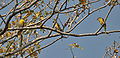 Small Minivet (Pericrocotus cinnamomeus) at Bharatpur I IMG 5315.jpg