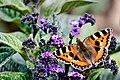 Small Tortoiseshell Butterfly (35441320961).jpg