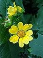 Smallanthus uvedalius flower.jpg