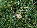 Snail, West Meon 01.jpg