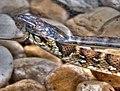 Snake (7762796140).jpg