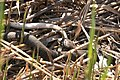 Snake eating an eel (3823859767).jpg