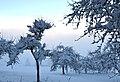 Snow packed trees.jpg