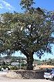 Sobreiro do Largo da Igreja - Parada de Todeia, Paredes - 04.jpg