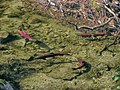Sockeye Salmon Steep Creek wc22.jpg