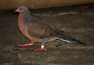 Socorro dove - At the Louisville Zoo