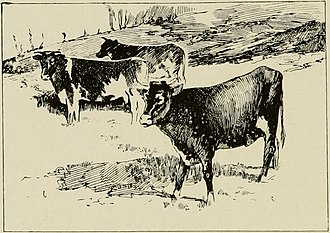 Henry Ogg Forbes - Image: Sokotran Cattle