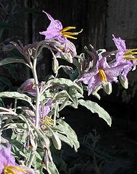 Solanum eleagnifolium az