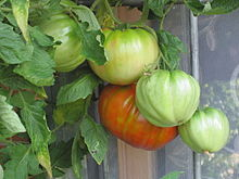 gröna tomater giftiga