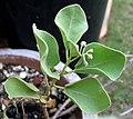 Solanum nelsonii (5187953197).jpg