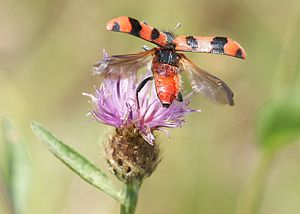 Elytron - Checkered Beetle Trichodes alvearius  (family Cleridae) taking off from Knapweed, elytra held high above the wings