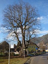 Sommerlinde Karnburg KL33.jpg