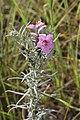 Sopubia cana (Scrophulariaceae) (6932180913).jpg