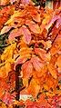 Sorbus Herbstlaub 07.jpg