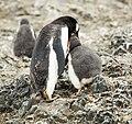 SouthShetland-2016-Livingston Island (Hannah Point)–Gentoo penguin (Pygoscelis papua) 03.jpg