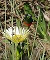 Southern Double-collared Sunbird (Cinnyris chalybeus) on Ice Plant flower (Carpobrotus edulis) ... (32663865692).jpg