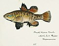 Southern Pacific fishes illustrations by F.E. Clarke 48.jpg