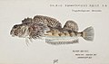 Southern Pacific fishes illustrations by F.E. Clarke 58.jpg