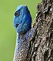 Southern Tree Agama (Acanthocercus atricollis) male (32731783573).jpg