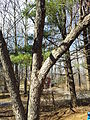 Southern flying squirrel on tree long shot.jpg