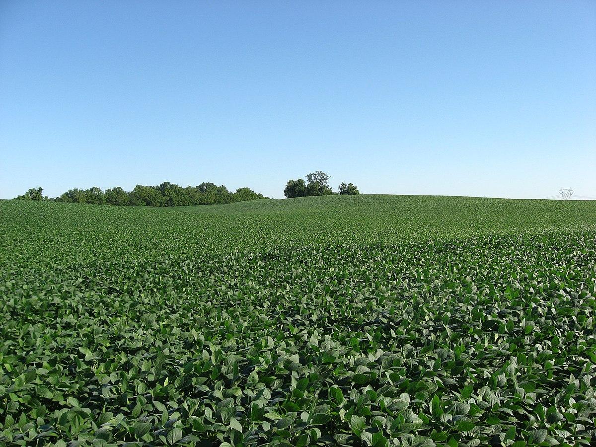 Soybean fields at Applethorpe Farm.jpg