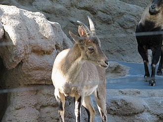 Iberian ibex - Image: Spanish Ibex at the San Diego Zoo 1
