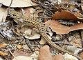 Spanish Psammodromus (Psammodromus hispanicus) (39066412635).jpg