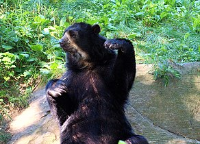 Spectacled Bear 161 (3).jpg