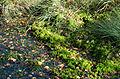 Sphagnum fallax - Dosenmoor.jpg