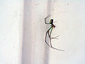 Spider we Named Goldie.jpg