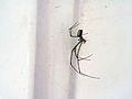 Spider we Named Goldie.jpg