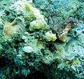Sponge-filled coral rubble (10.3897-zookeys.173.2498) Figure 16.jpg