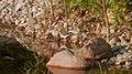 Spotted-sandpiper (Actitis macularius) - Guelph, Ontario 02.jpg