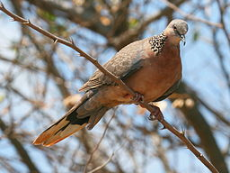 Spotted Dove RWD3.jpg
