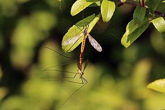 Nephrotoma appendiculata - Image: Spotted crane flies (Nephrotoma appendiculata) mating