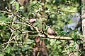 Spotted dove at Chitwan National Park.jpg