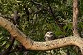 Spotted owlet (Athene brama)from Coimbatore JEG2124.jpg