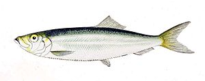 Sprat - The European sprat, Sprattus sprattus, is the type species for the genus Sprattus.