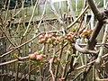 Spring^ The Darling Buds Are Ready - panoramio.jpg