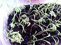 Sprouts of dill.jpg