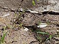 Spur-thighed tortoise in Pirshagi, Azerbaijan.jpg
