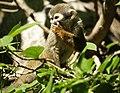Squirrel monkey (4233828582).jpg