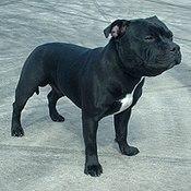 Staffordshire Bull Terrier 600.jpg