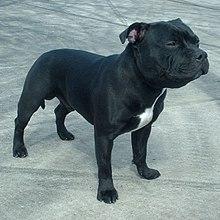 Risultati immagini per Staffordshire bull terrier