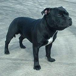 RASE PASA 250px-Staffordshire_Bull_Terrier_600