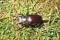 Stag beetle (BG) (9757634373).jpg