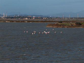 Stagno di Cagliari - Greater Flamingos in one of the evaporation ponds of the Stagno di Cagliari.
