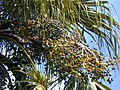 Starr-010330-0583-Livistona chinensis-fruits-Paia-Maui (24164336599).jpg